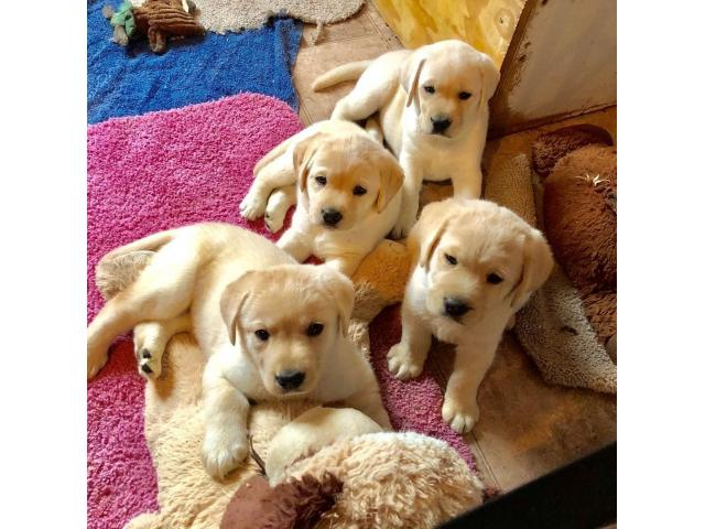 Golden retriever puppies for free adoption